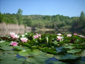 ninfee-nel-nostro-lago