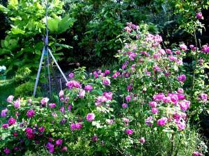 rosa-variegata